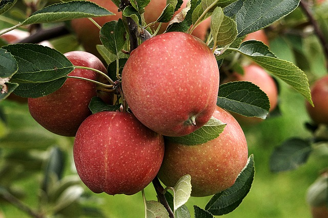 1fe03d2e3e6d Autumn Apple-Picking Is a Popular Pastime at Wright's Orchard - Live ...